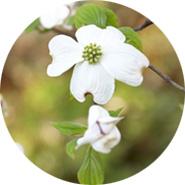 花水木とアメリカ